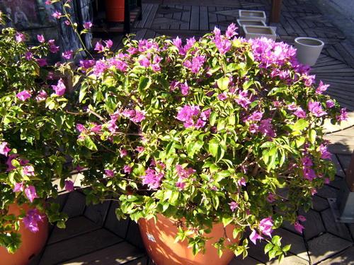 Bougainvilla Plant Moraira