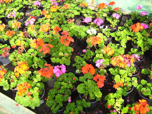 Bedding Plants Javea