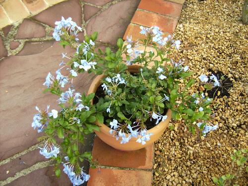 Plumbago Plant