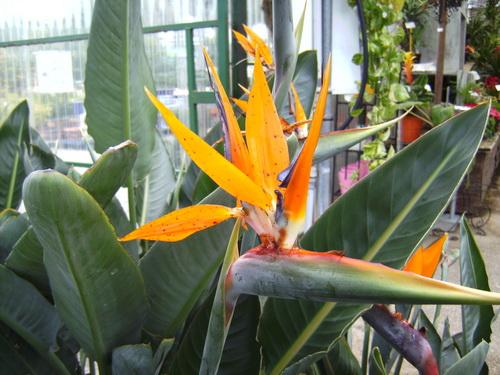 Strelitizia (bird of Paradise plant)