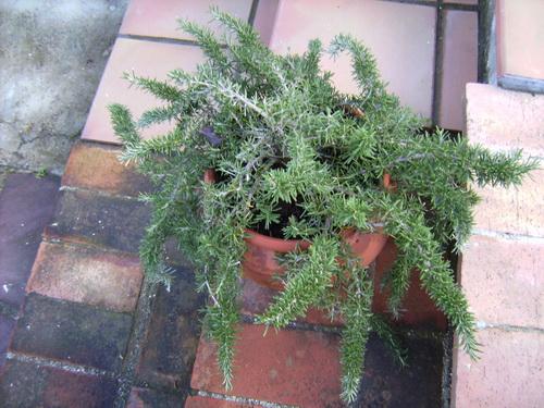 Moraira Rosemary