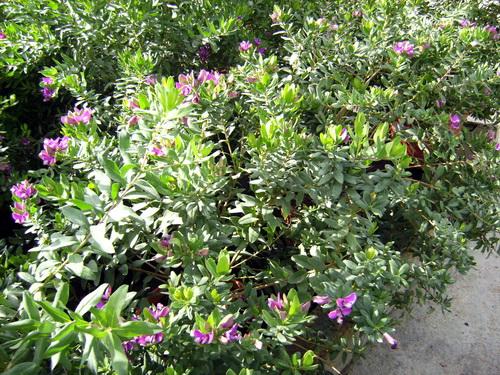 Moraira Polygola Myrtifolia Arbustiva Plant