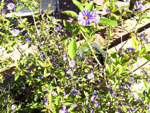 Solanum Plant Moraira