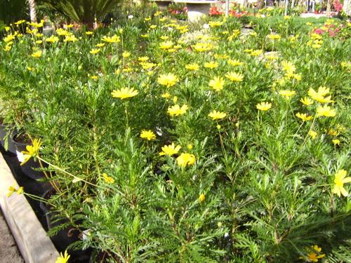 Euriops Chrystanthemum Plant