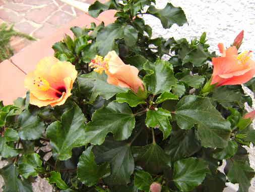 Hibiscus Plant, Moraira