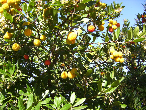 Moraira Strawberry Tree