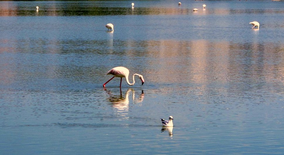 Flamingos in the salt lakes at Torrevieja